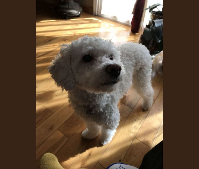 Photo of Tully, a Poodle (Small), Chihuahua, and Cocker Spaniel mix