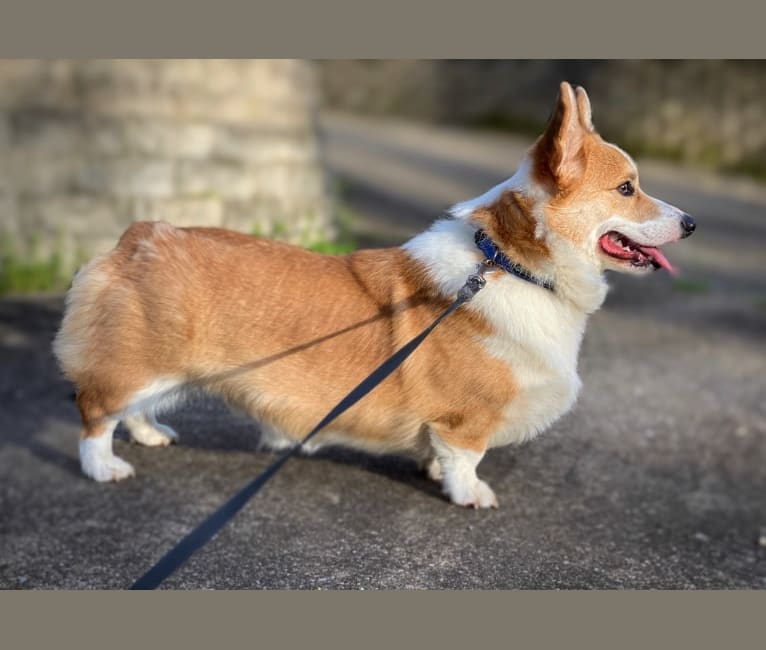 Photo of Kudzu, a Pembroke Welsh Corgi  in Lake City, MI, USA