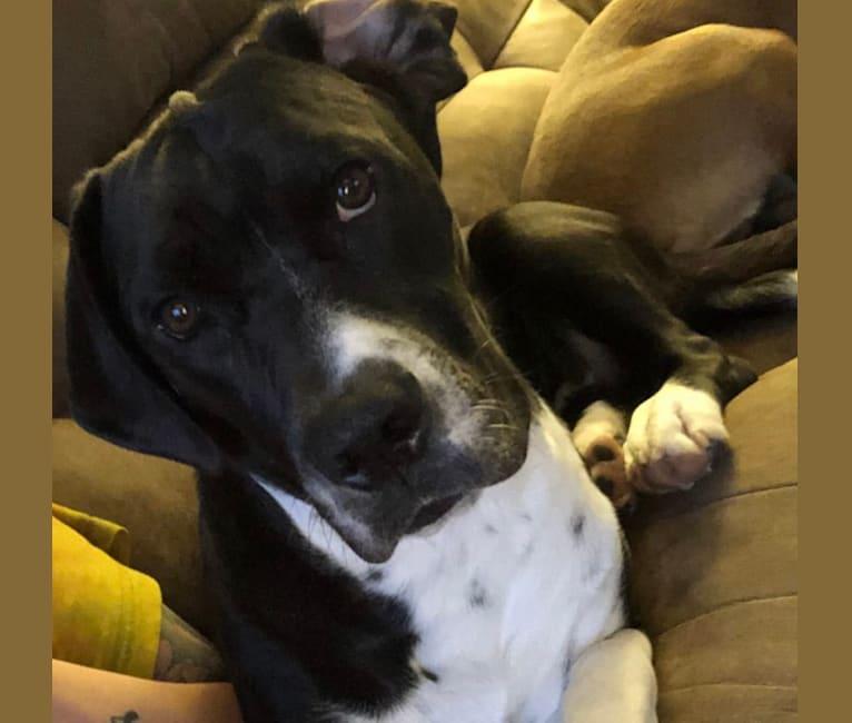 Photo of Rhyder, a Bulldog, Basset Hound, Mountain Cur, and Labrador Retriever mix in Pittsburgh, Pennsylvania, USA