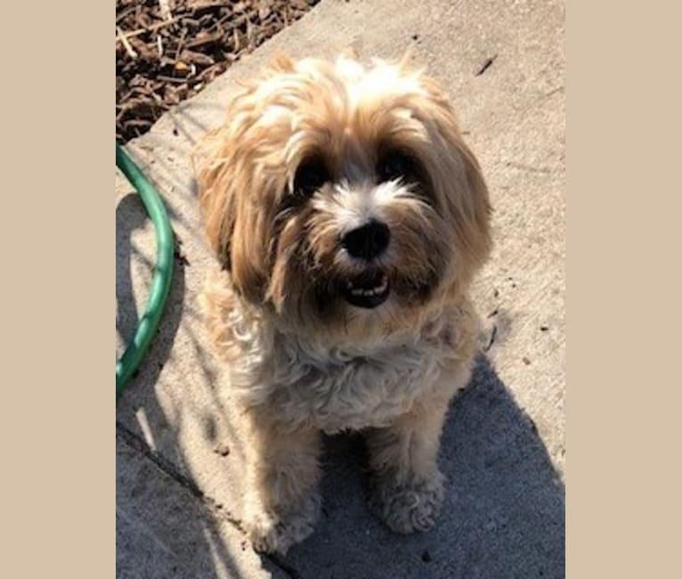 Photo of Beulah, a Tibetan Terrier  in Missouri, USA