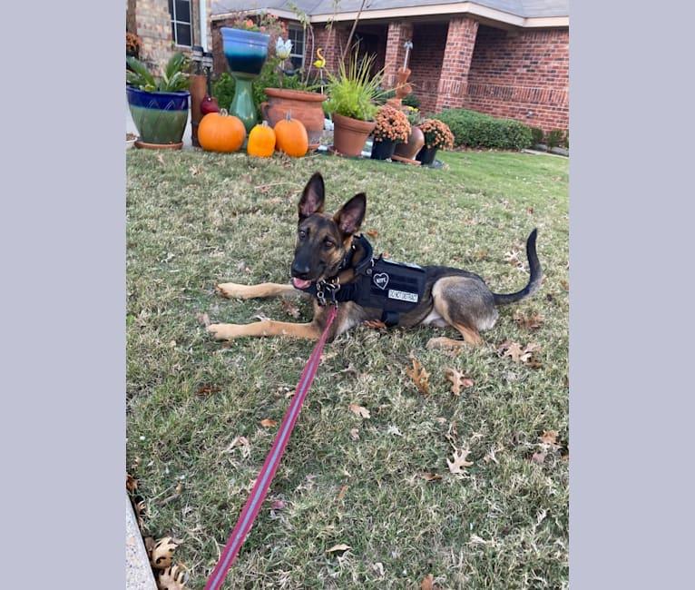 Photo of Hektor, a Belgian Malinois and German Shepherd Dog mix in Rector, AR, USA