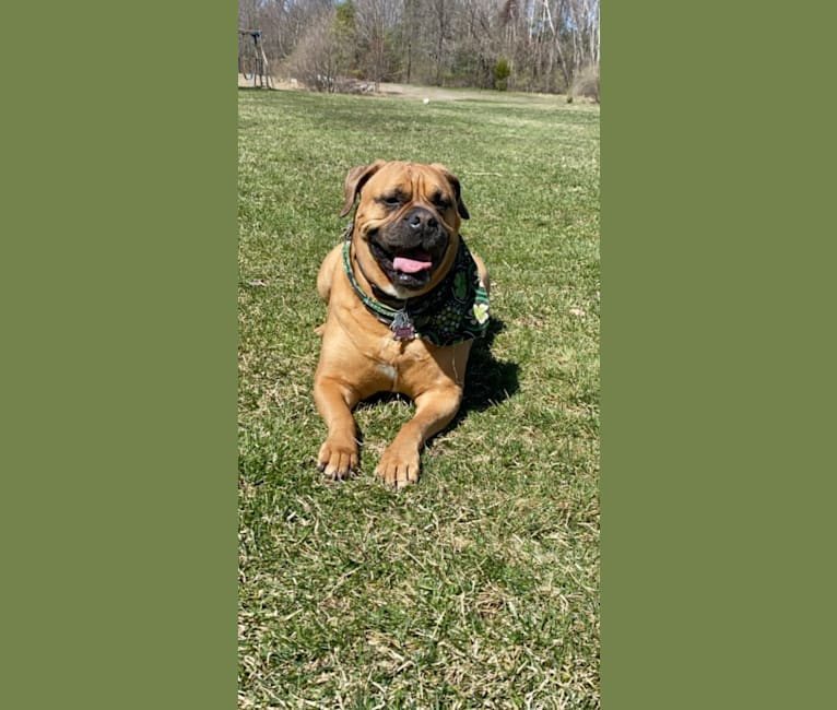 Photo of Zoey, a Bullmastiff  in Okeechobee, FL, USA