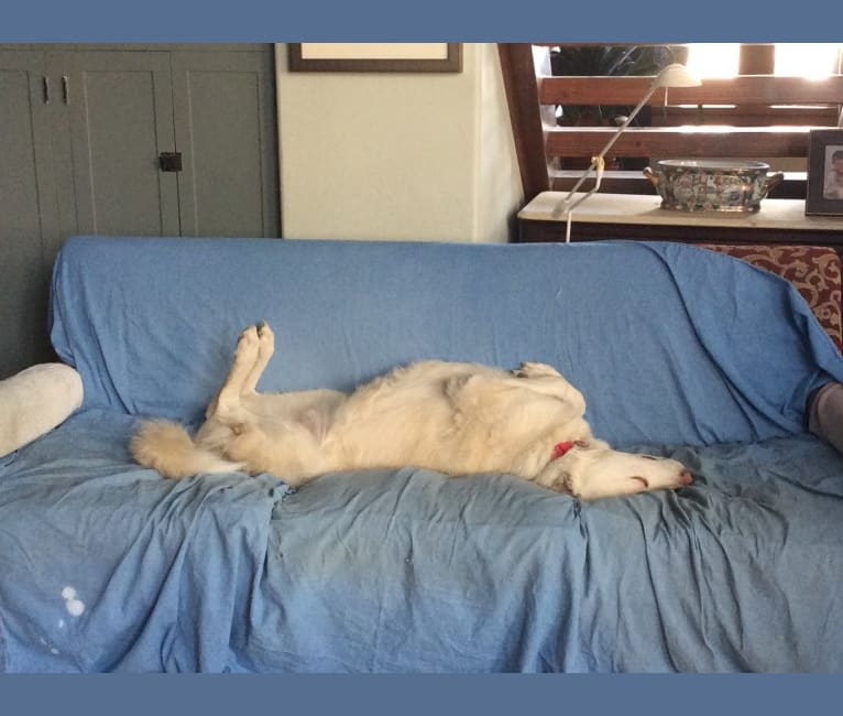 Photo of Pearl, an Anatolian Shepherd Dog and Great Pyrenees mix