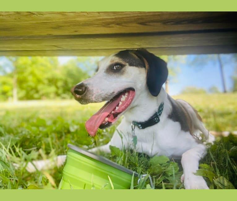 Photo of Ernie, a Treeing Walker Coonhound, Miniature/MAS-type Australian Shepherd, and Australian Shepherd mix in Maynardville, TN, USA