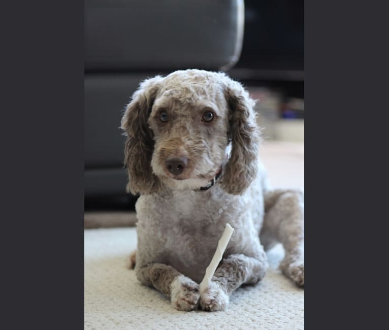 Photo of Seven, a Poodle (Small) and Miniature/MAS-type Australian Shepherd mix in North Vancouver, British Columbia, Canada