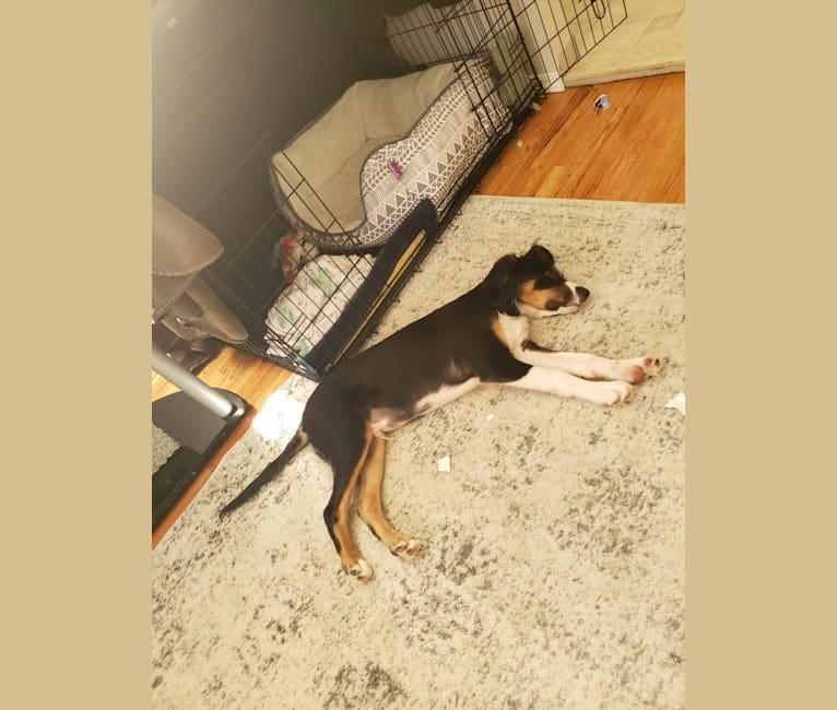 Photo of Freddy Krueger, an Australian Shepherd, Brittany, Treeing Walker Coonhound, and Mixed mix in New York, New York, USA