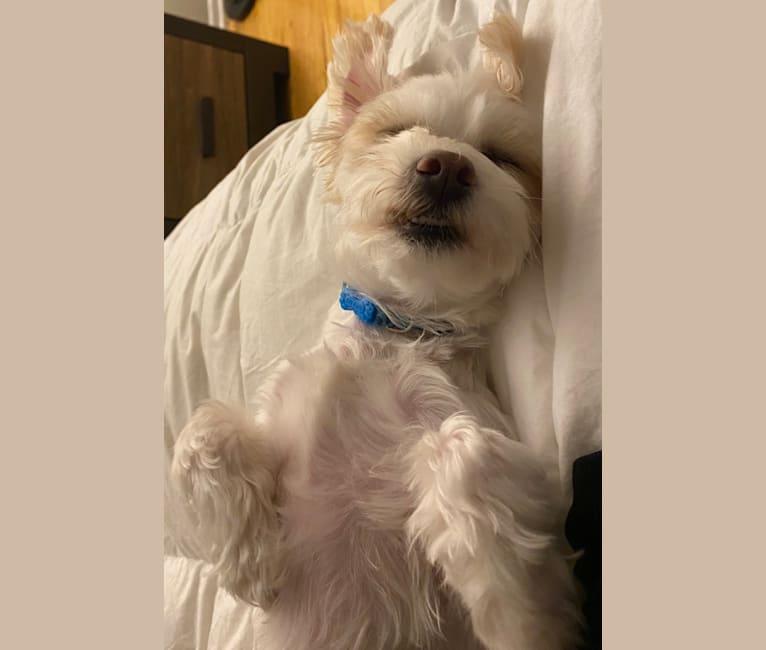 Photo of Elwood, a Maltese, Havanese, Yorkshire Terrier, and Bichon Frise mix in Philadelphia, Pennsylvania, USA