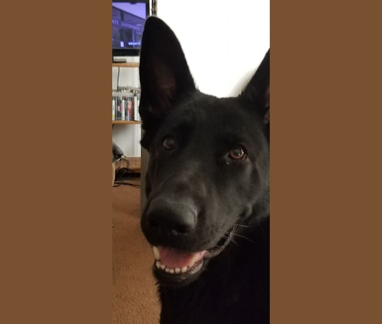 Photo of Ruby, a German Shepherd Dog  in Arizona, USA