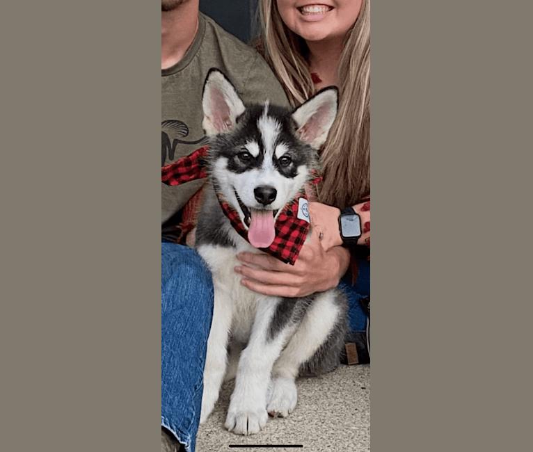 Photo of Hutch, an Alaskan Malamute  in Bloomington, Indiana, USA