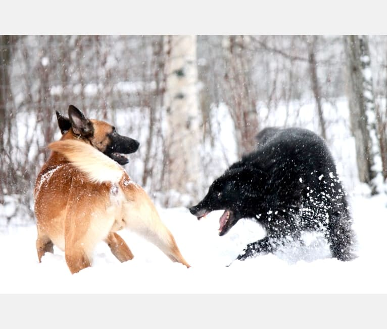 Photo of Shanti, a Belgian Shepherd  in Elverum, Norway