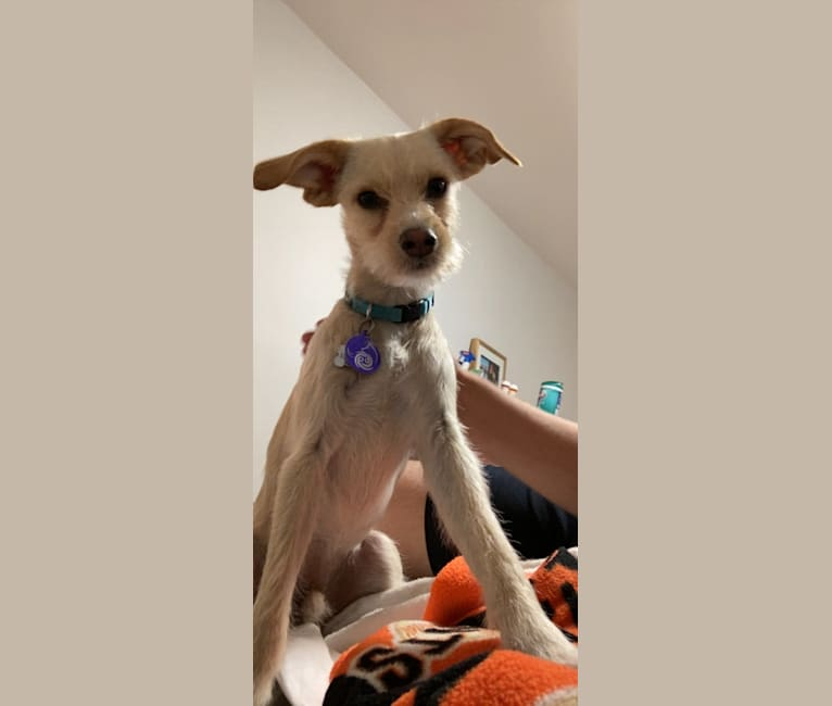 Photo of Kylo, a Miniature Pinscher, Poodle (Small), Chihuahua, and Mixed mix in Brentwood, California, USA
