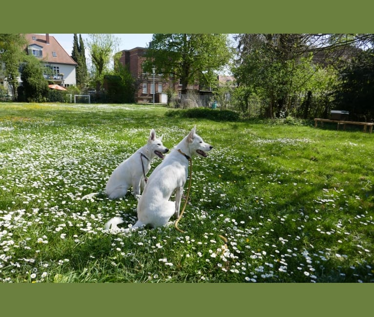 Photo of ALPINE VON WHITE NOBLESS, a White Shepherd  in Karlsruhe, Germany
