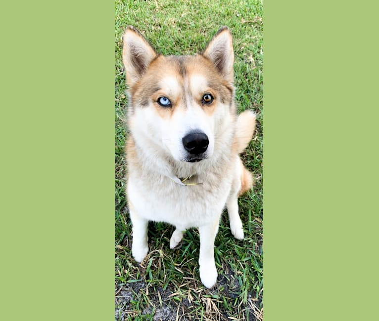 Photo of Yuma, a Siberian Husky  in Salisbury, NC, USA