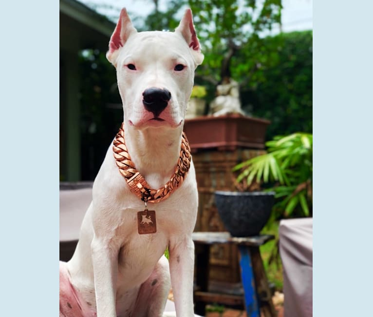 Photo of Toro León, a Dogo Argentino