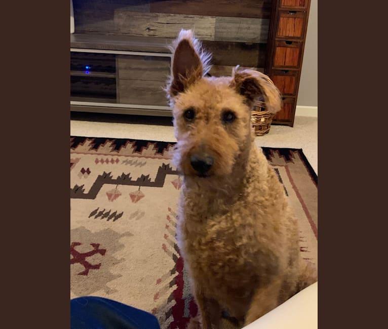 Photo of Oakley, an Irish Terrier  in Missouri, USA
