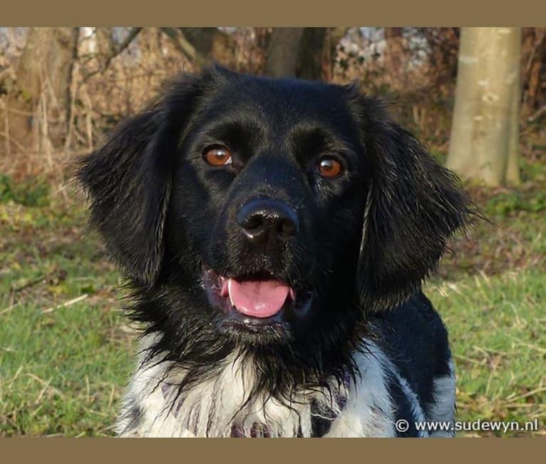 Photo of Toet, a Stabyhoun