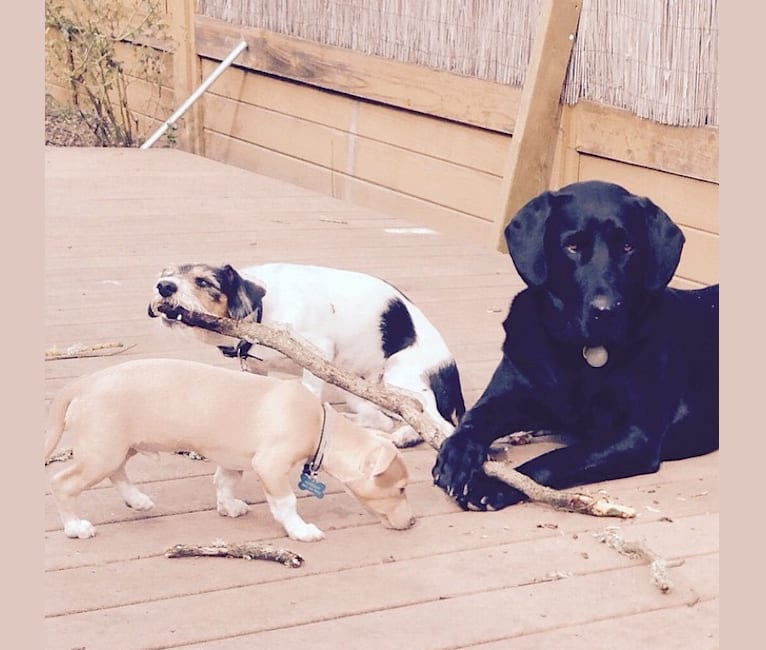 Photo of Weston, a Dachshund, Rat Terrier, Bichon Frise, and Miniature Pinscher mix in Napa, California, USA