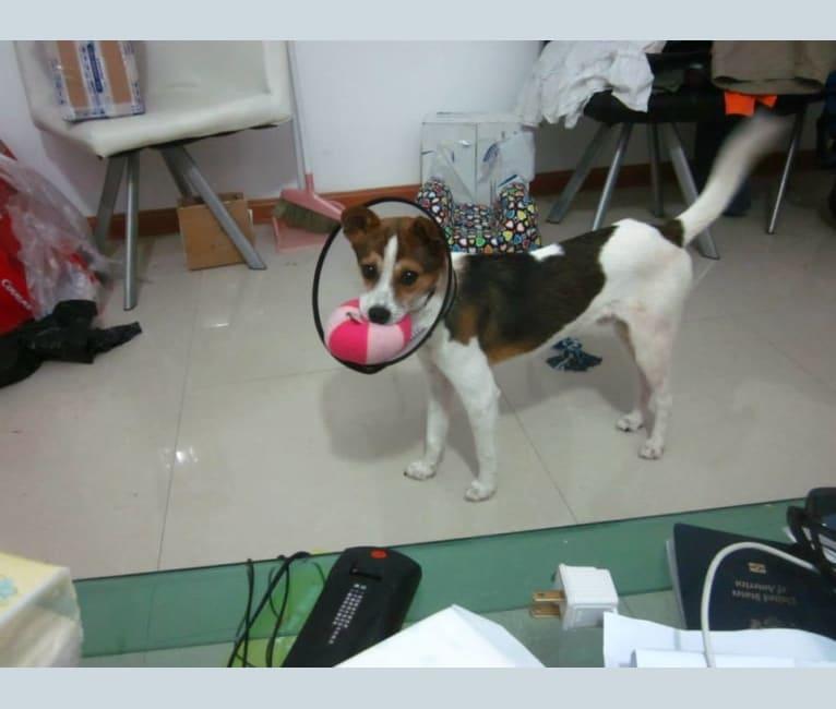 Photo of Shopkeep, a Chinese Village Dog  in Nantong, Jiangsu, China