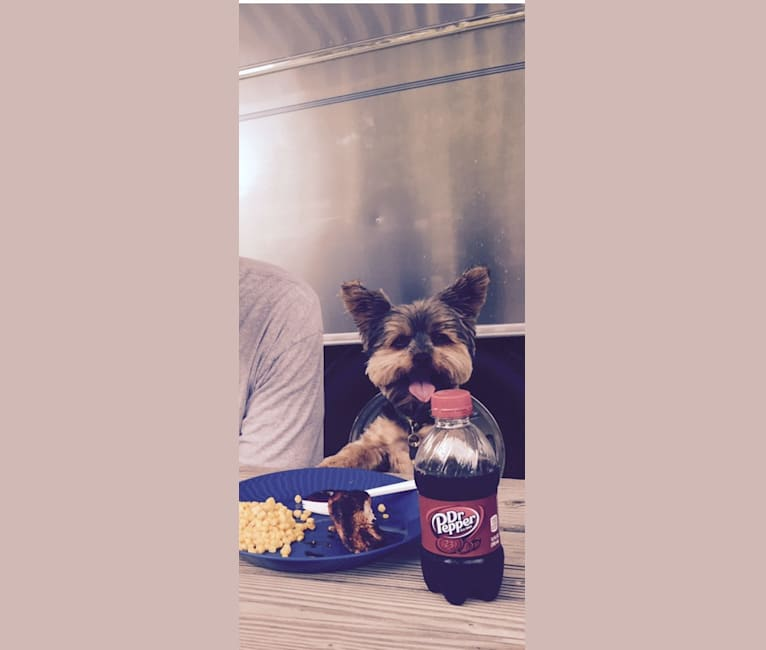 Photo of Jake, a Yorkshire Terrier  in Colorado, USA