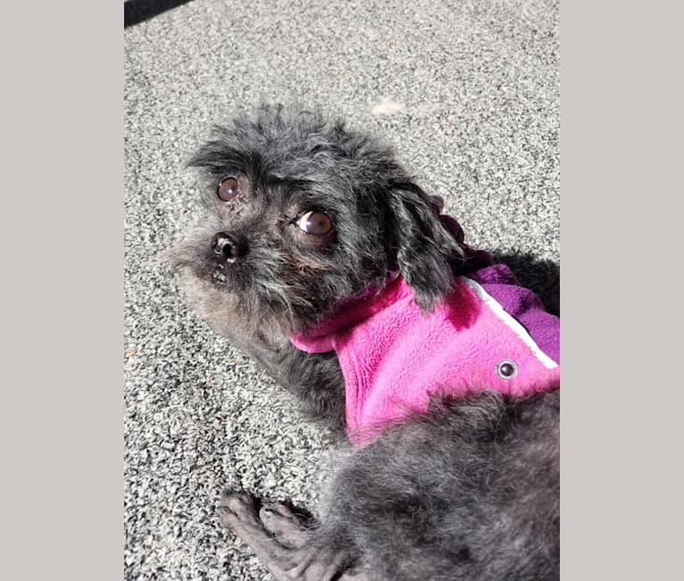 Photo of Lizzy, a Poodle (Small)  in Salisbury, North Carolina, USA