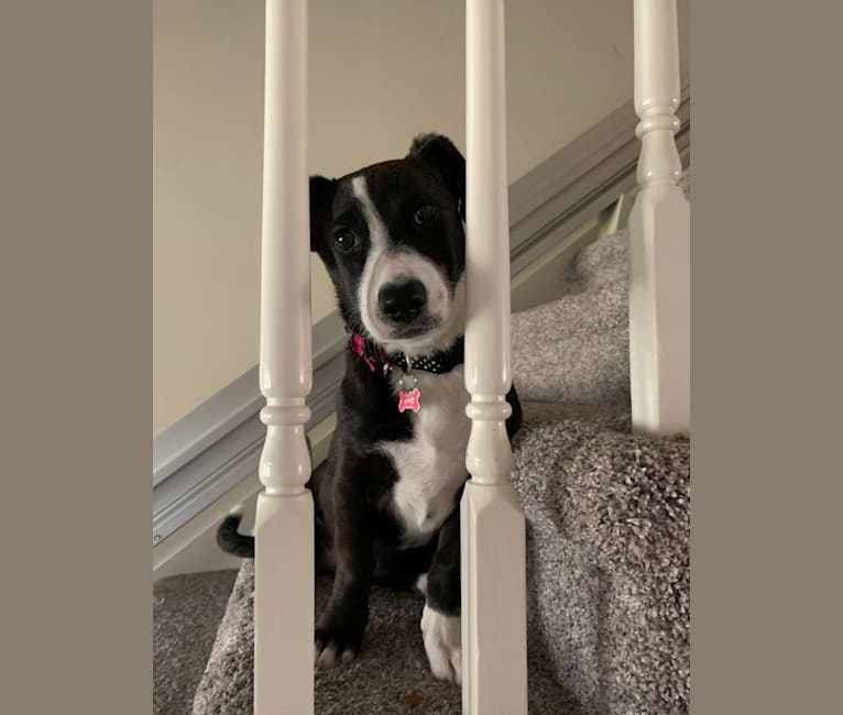 Photo of Bessie Doogie, a Rat Terrier, Labrador Retriever, American Pit Bull Terrier, Chow Chow, and Mixed mix in Hoover, Alabama, USA
