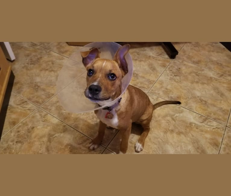 Photo of Izzy, an American Pit Bull Terrier, American Staffordshire Terrier, Dachshund, and Mixed mix in Miami, Florida, USA