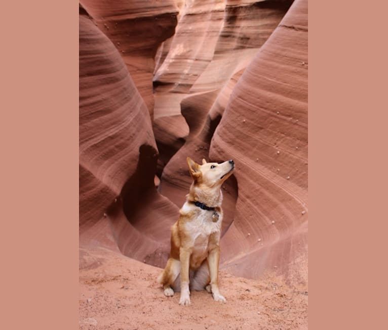 Photo of Luna, an Australian Cattle Dog, Golden Retriever, Akita, German Shepherd Dog, and Mixed mix in Maskwacis, Alberta, Canada