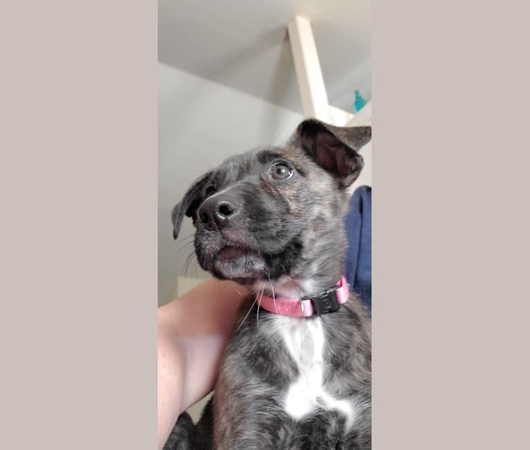 Photo of Molly, an American Pit Bull Terrier, German Shepherd Dog, Vizsla, and American Bulldog mix in Quinlan, Texas, USA