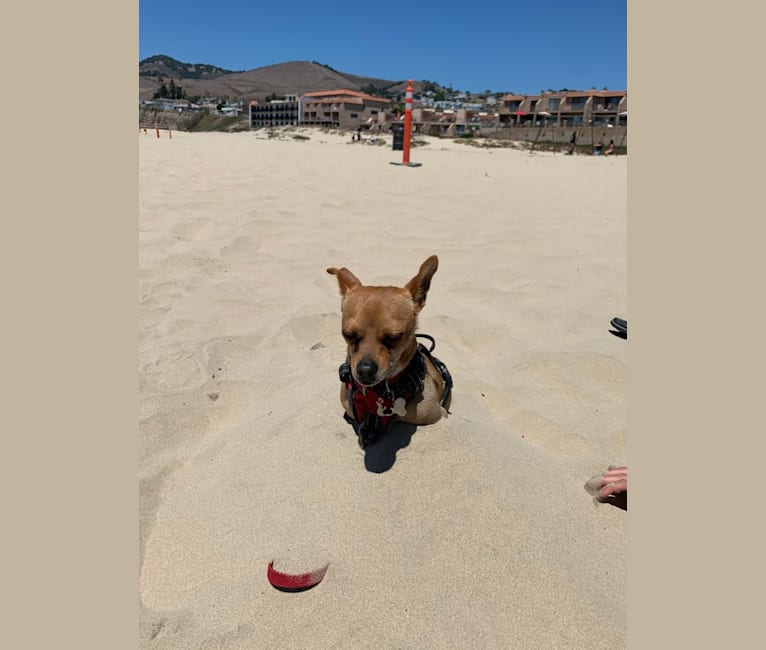 Photo of Pearl, a Chihuahua, Shiba Inu, Miniature Pinscher, and Mixed mix in Los Angeles, California, USA