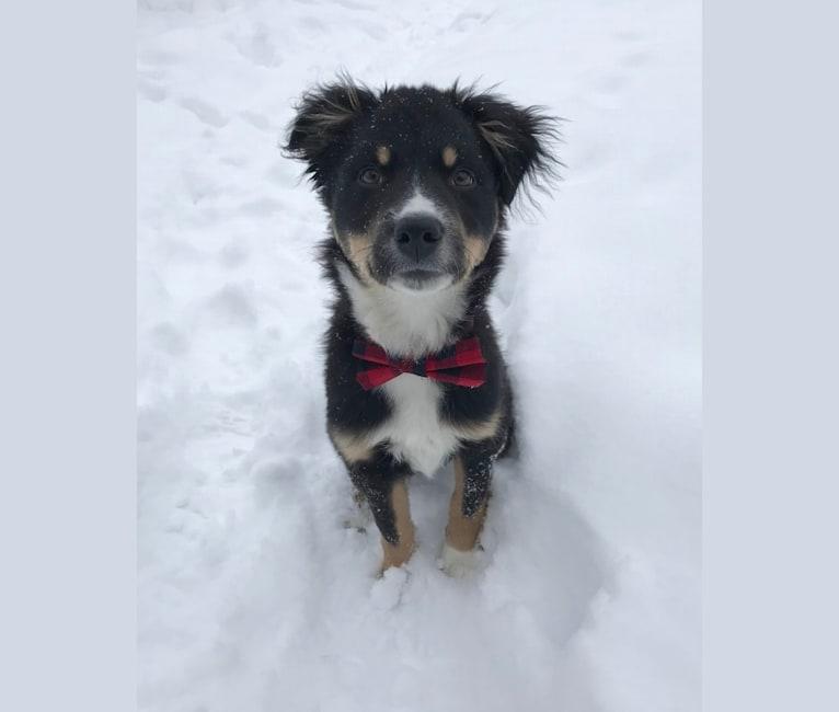 Photo of Koda, an Australian Cattle Dog, Rottweiler, Labrador Retriever, German Shepherd Dog, Chow Chow, English Springer Spaniel, and Collie mix in South Dakota, USA