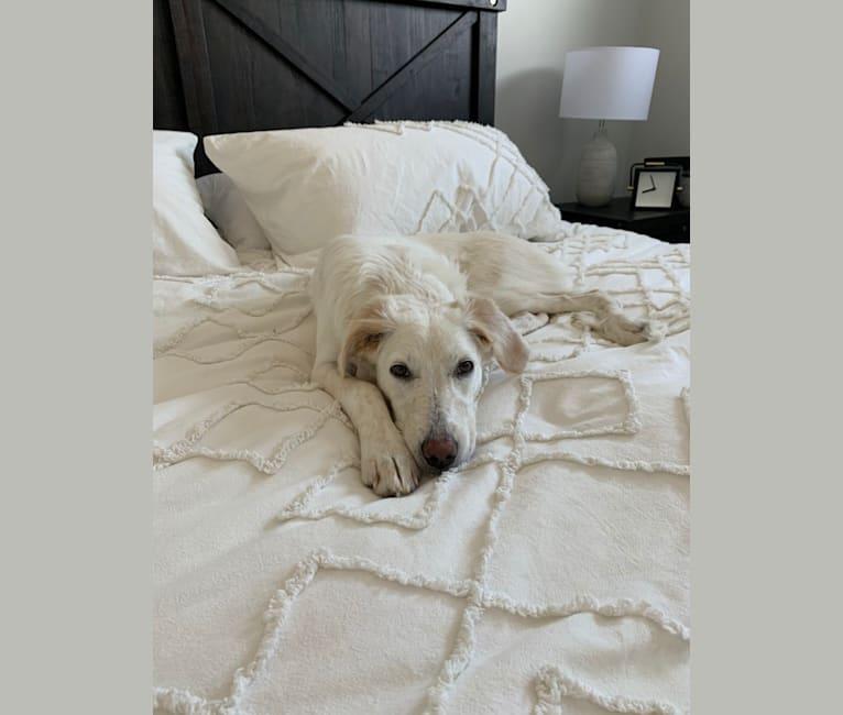 Photo of Riley, a Border Collie, Maremma Sheepdog, Newfoundland, and Australian Cattle Dog mix in Edmonton, Alberta, Canada