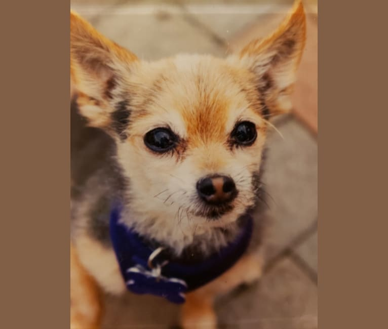 Photo of Webster, a Yorkshire Terrier, Maltese, and Pomeranian mix in Cincinnati, Ohio, USA