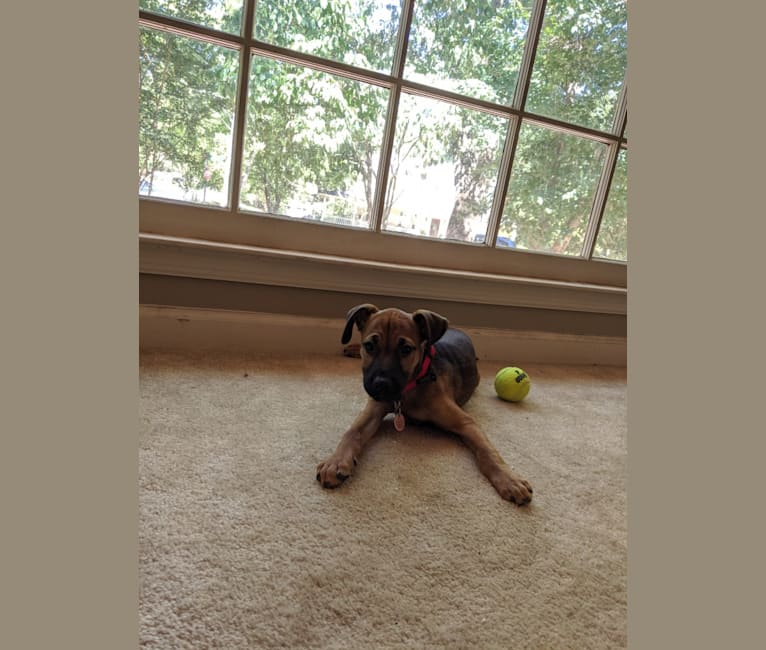 Photo of Ruger, a Miniature Schnauzer, Catahoula Leopard Dog, Australian Cattle Dog, American Pit Bull Terrier, and Mixed mix