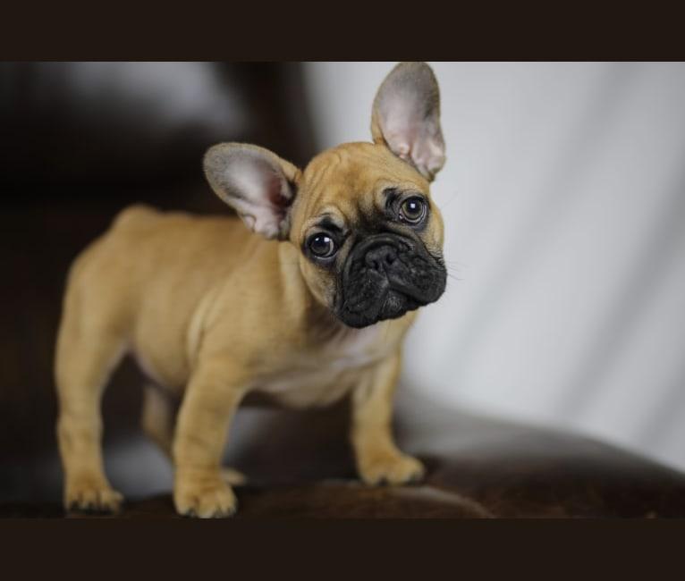 Photo of Greta, a French Bulldog  in Umpqua Valley Kennels French Bulldogs, Umpqua Valley Lane, Drain, OR, USA