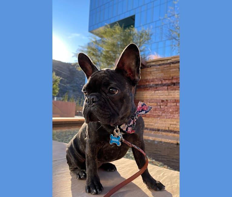 Photo of Midna, a French Bulldog  in Florence, Arizona, USA
