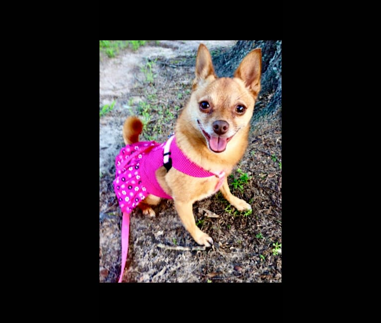 Photo of Rena Grace, a Miniature Pinscher and Pomeranian mix in Pineville, Louisiana, USA