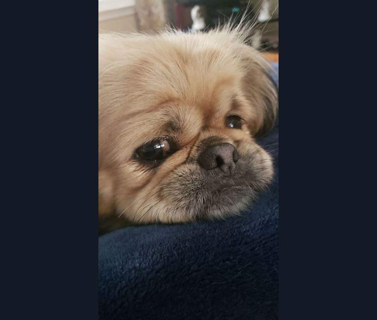 Photo of Ginger, a Pekingese  in Ohio, USA