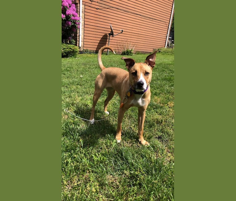 Photo of Sophie, an American Pit Bull Terrier, Labrador Retriever, Australian Cattle Dog, and Mixed mix in Humane Society of Catawba County, 20th Avenue Southeast, Hickory, NC, USA