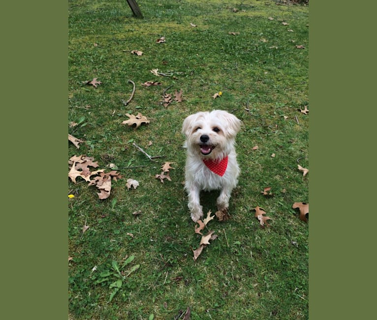 Photo of Bosco, a Morkie  in South Bend, IN, USA