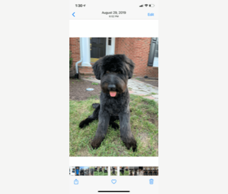 Photo of Snoop, a Soft Coated Wheaten Terrier and Golden Retriever mix in Midland, Virginia, USA