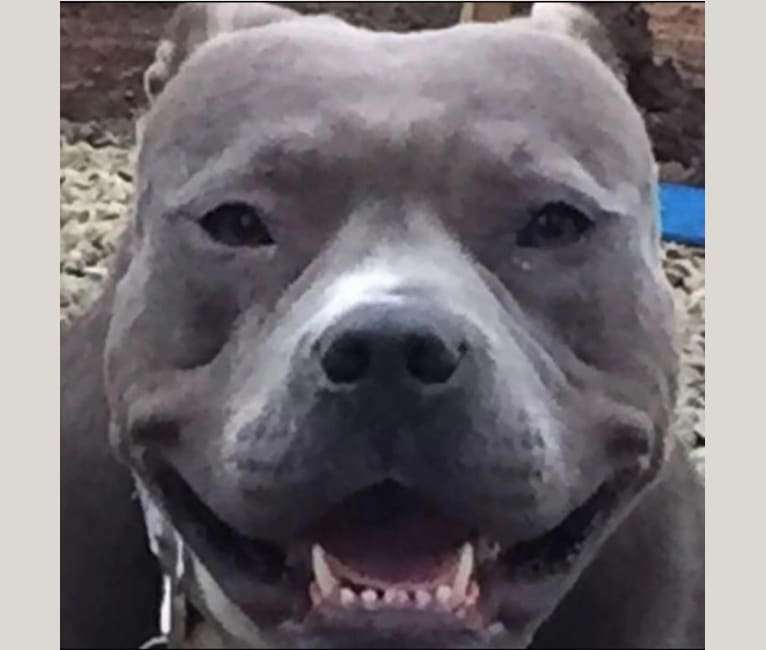 Photo of Stevie, an American Bully  in Redwood City, California, USA
