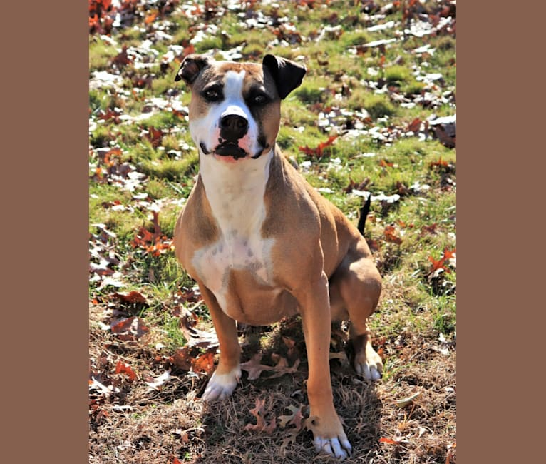 Photo of Bissy, an American Pit Bull Terrier and American Staffordshire Terrier mix in New York, USA