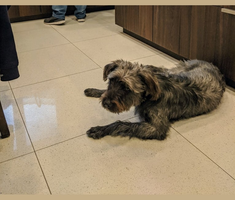 Photo of Jackson, an American Pit Bull Terrier and Australian Shepherd mix in South Carolina, USA