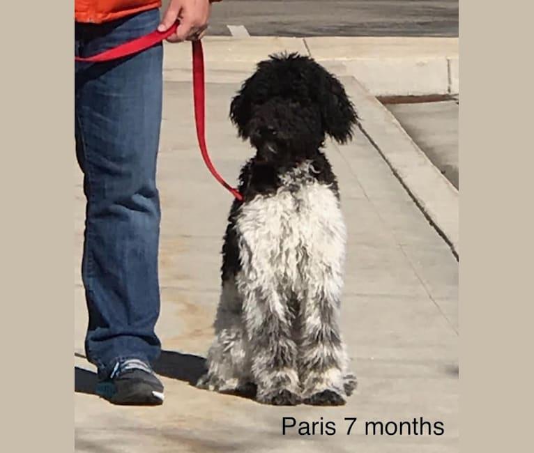 Photo of Paris, a Goldendoodle