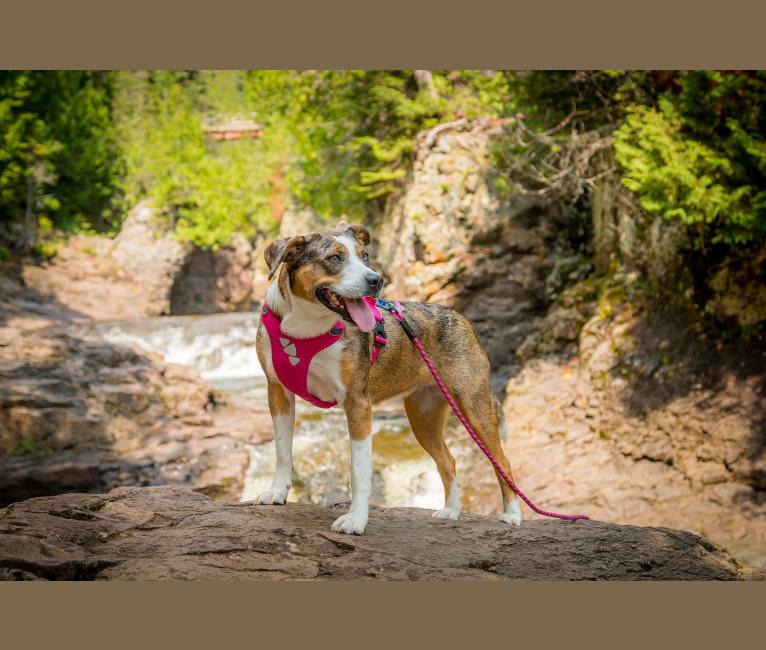Photo of LucyLou, an American Pit Bull Terrier, Miniature/MAS-type Australian Shepherd, Australian Shepherd, and Boxer mix in Minnesota, USA
