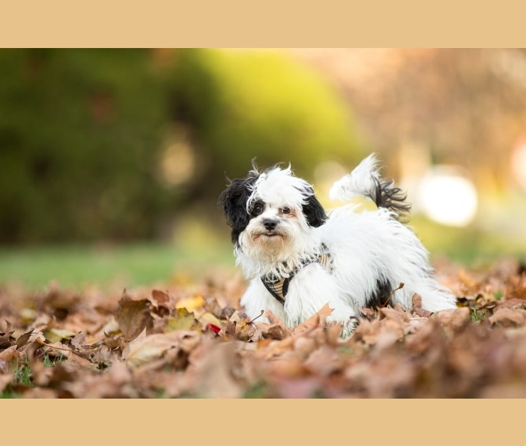 Photo of Leo, a Shih Tzu and Poodle (Small) mix in El Dorado Hills, California, USA