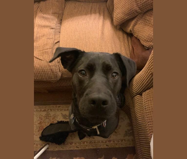 Bernese Mountain Dog Breeder Shelby Nc