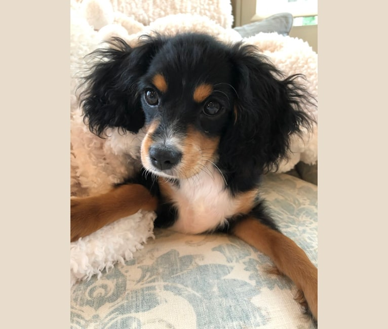 Photo of Prince, a Cavalier King Charles Spaniel, Poodle (Small), and Miniature/MAS-type Australian Shepherd mix in Arkansas, USA