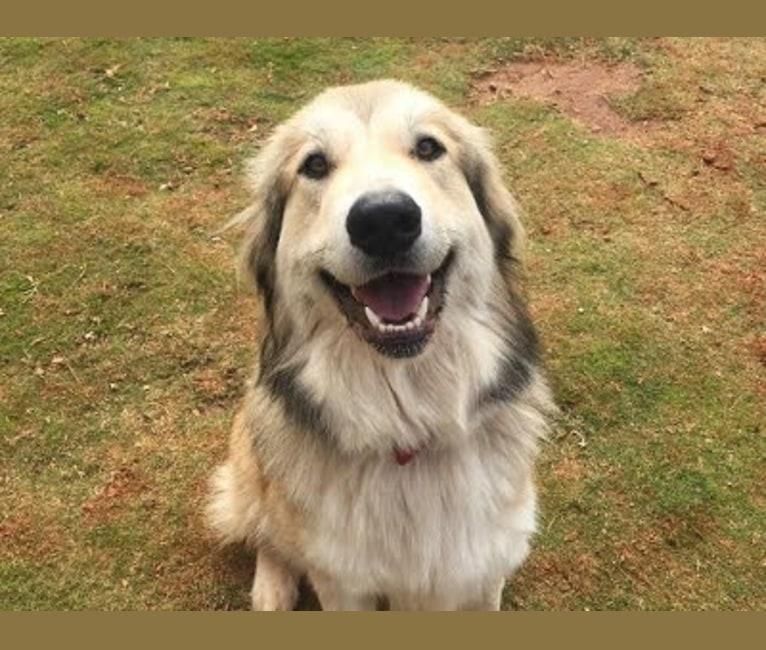 Photo of Doug, a Great Pyrenees, Labrador Retriever, Chow Chow, and Mixed mix in Atlanta, Georgia, USA