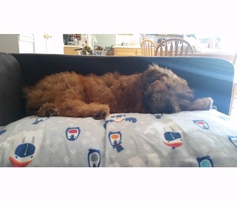 Photo of Bentley, a Soft Coated Wheaten Terrier  in 23 Misty Lane, Buffalo, MO, USA